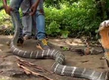 18 feet long king cobra in odisha