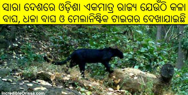 Black Panther in Odisha