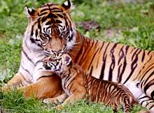Tigers in Odisha