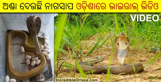 Cobra laying eggs in Odisha