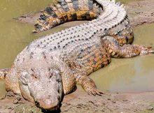 gori white crocodile