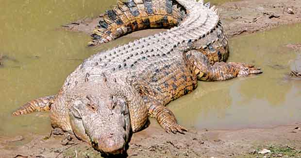 gori white crocodile