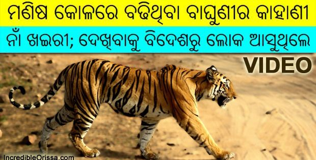 Odisha Khairi Tigress
