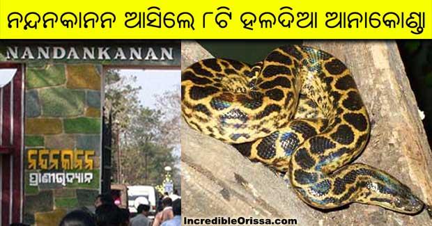 Nandankanan yellow Anacondas