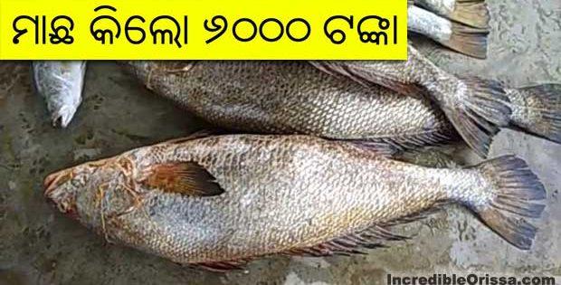 odisha fish telia