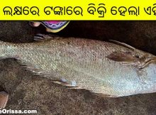 odisha rare ghol fish