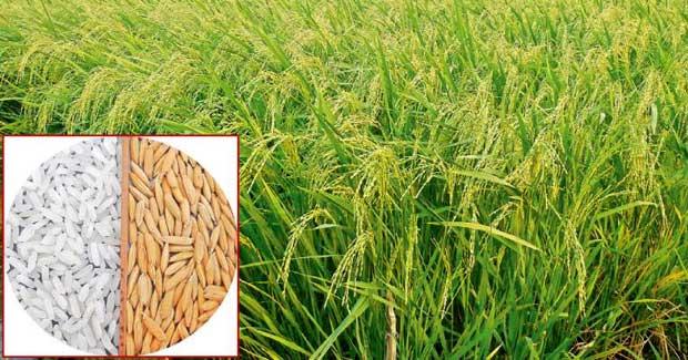 paddy new varieties