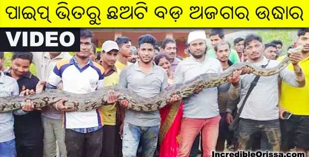 pythons rescued in odisha