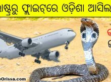 rescued king cobra odisha