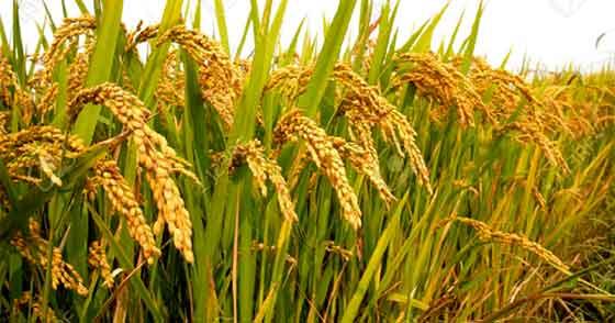 rice new variety