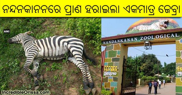 zebra nandankanan dead